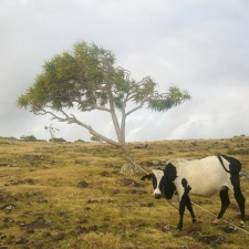 017_rodrigues_cow_in_field