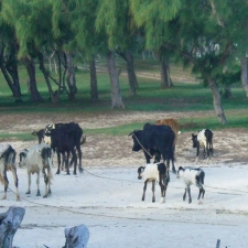 018_cattle_on_beach_with_local_herdsmen_in_rodrigues