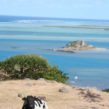 023_cow_relaxing_with_a_view_ile_hermitage_rodrigues