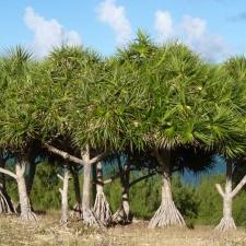 026_Vacoas_or_bakwa_trees
